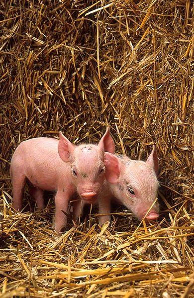 390px-Piglets_USDA