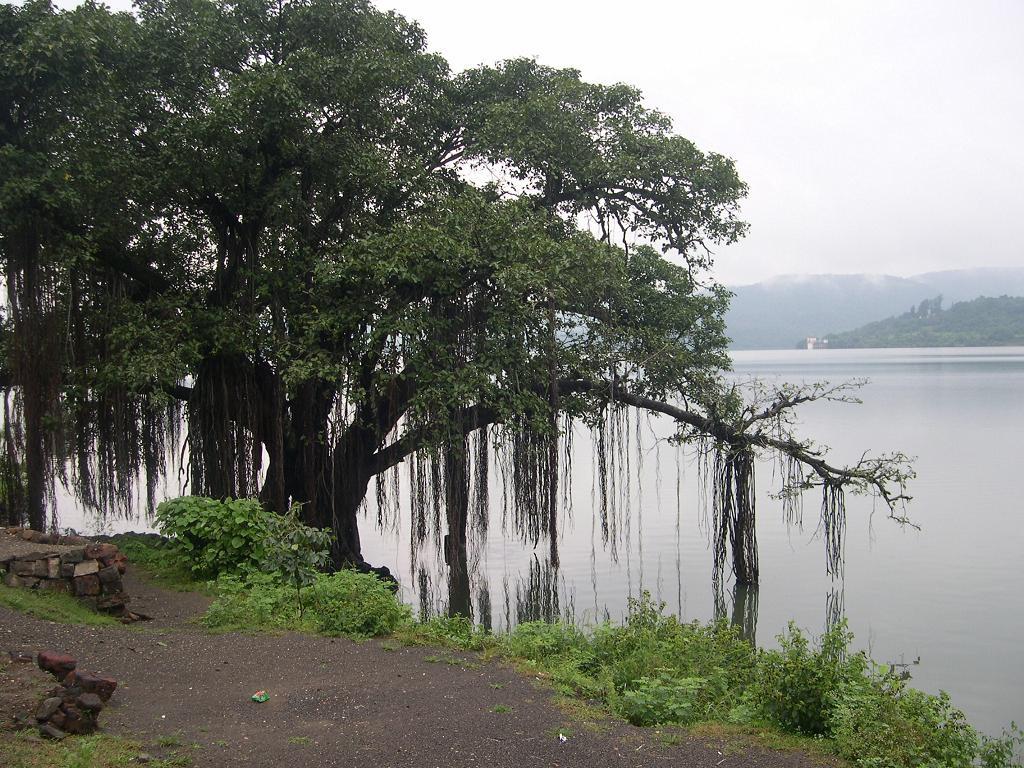 Banyan_tree_on_the_banks_of_Khadakwasla_Dam